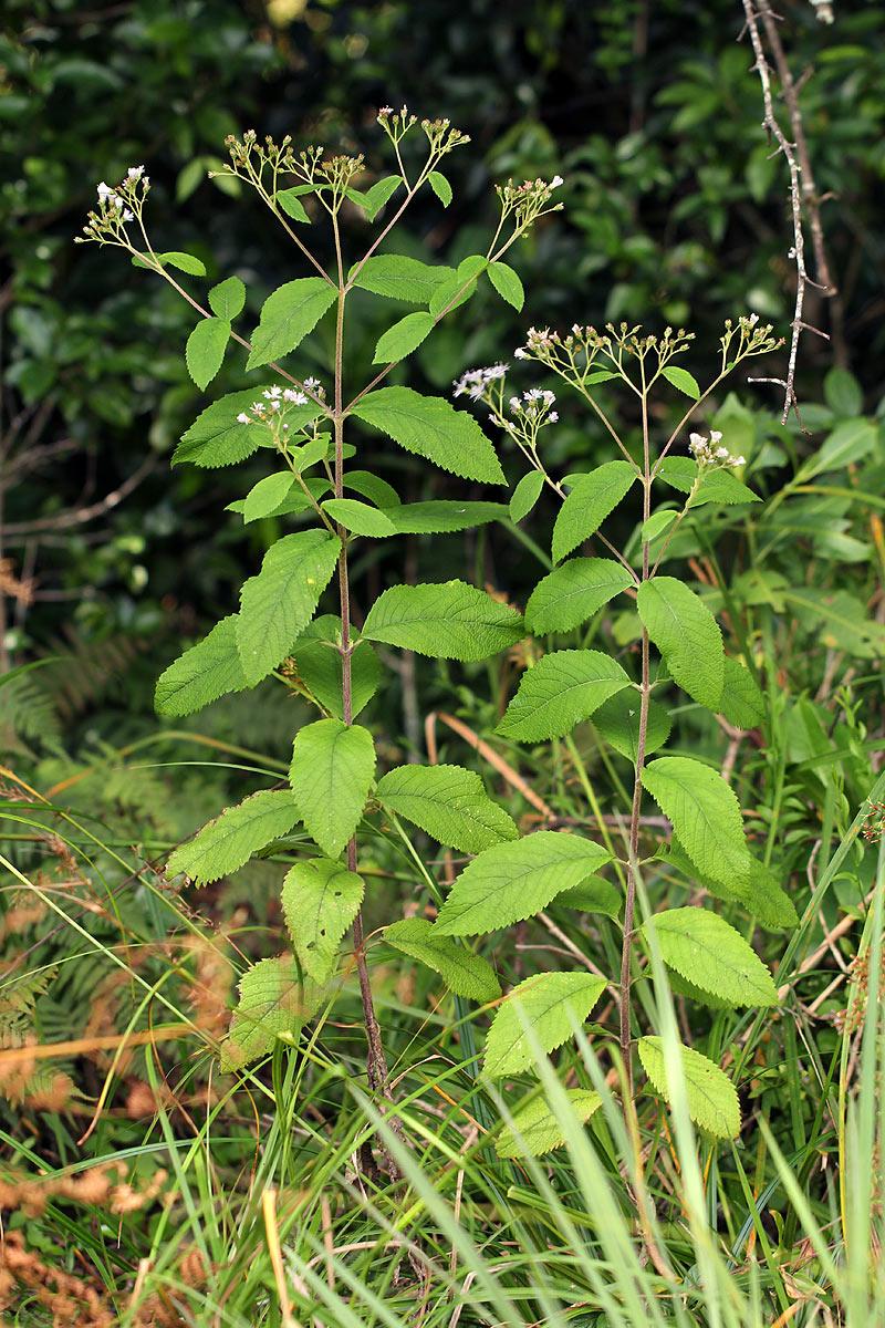 Bothriocline inyangana var. inyangana