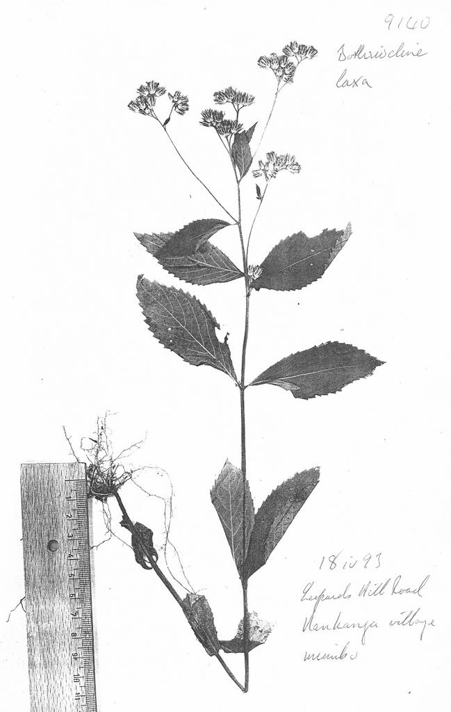 Bothriocline laxa subsp. laxa