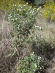 Vernonia adoensis var. adoensis