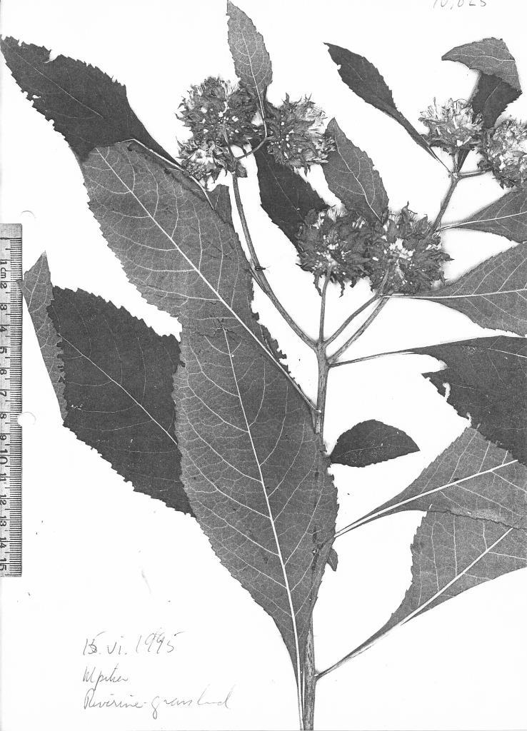 Vernonia adoensis var. kotschyana