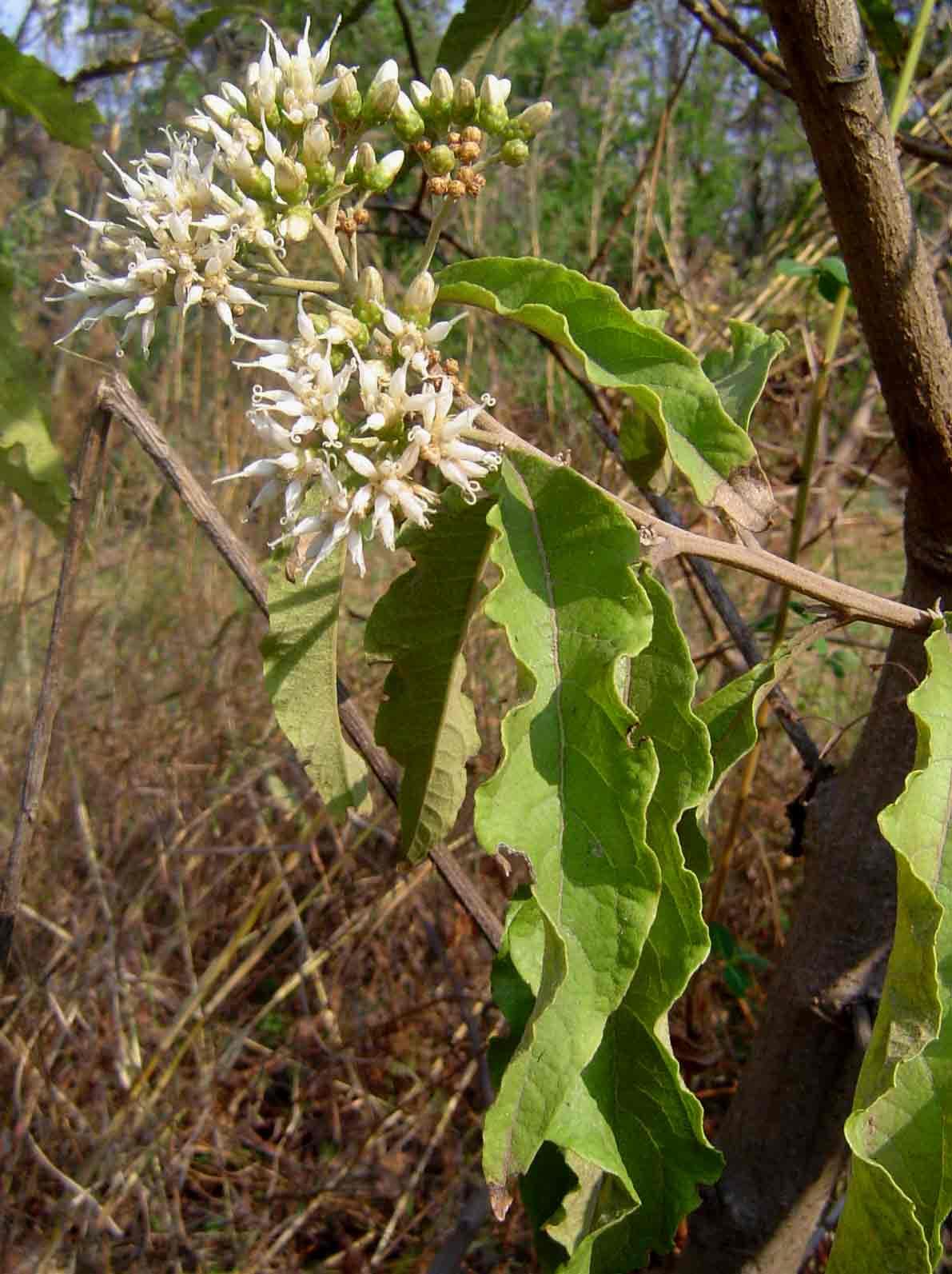 Vernonia amygdalina