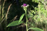 Vernonia anthelmintica