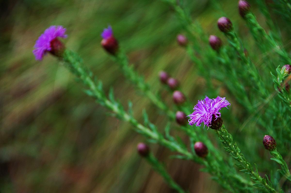 Vernonia bainesii subsp. bainesii