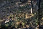 Vernonia bellinghamii