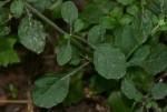 Vernonia cinerea var. cinerea