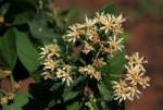 Vernonia colorata subsp. colorata