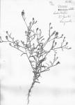 Vernonia rhodanthoidea