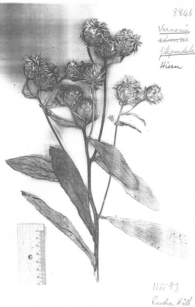Vernonia filipendula