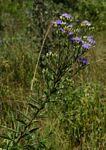 Vernonia glabra var. glabra
