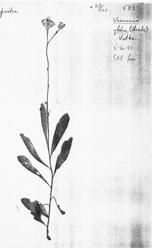 Vernonia glabra var. laxa