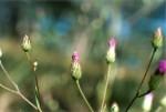 Vernonia jelfiae var. albida