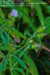 Vernonia melleri var. melleri