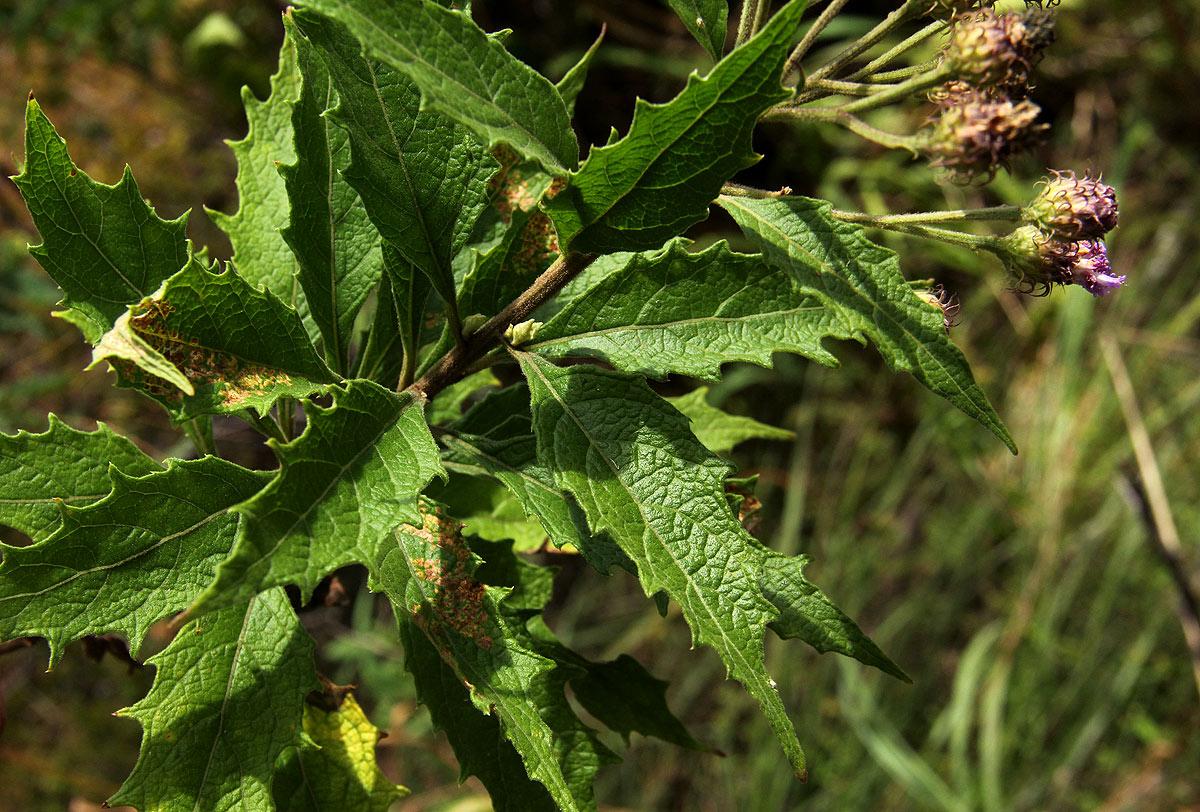 Vernonia muelleri subsp. muelleri