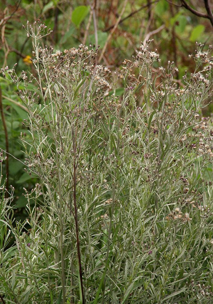 Vernonia natalensis