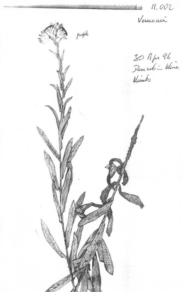 Vernonia nestor
