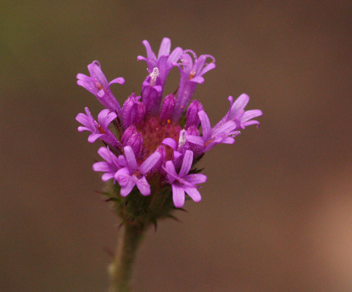 Vernonia petersii