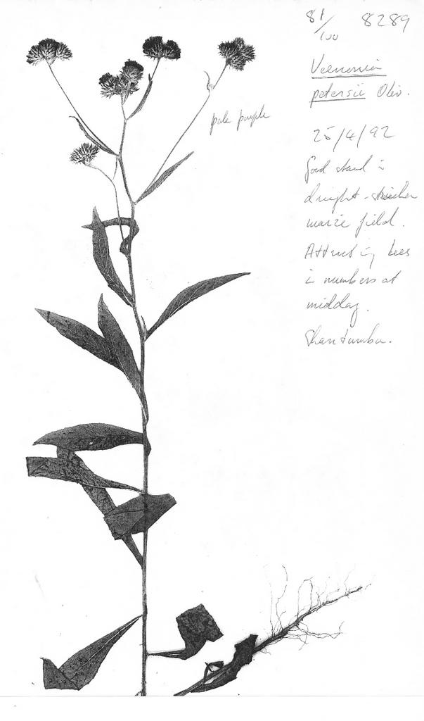 Vernonia petersii