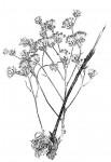 Vernonia suprafastigiata
