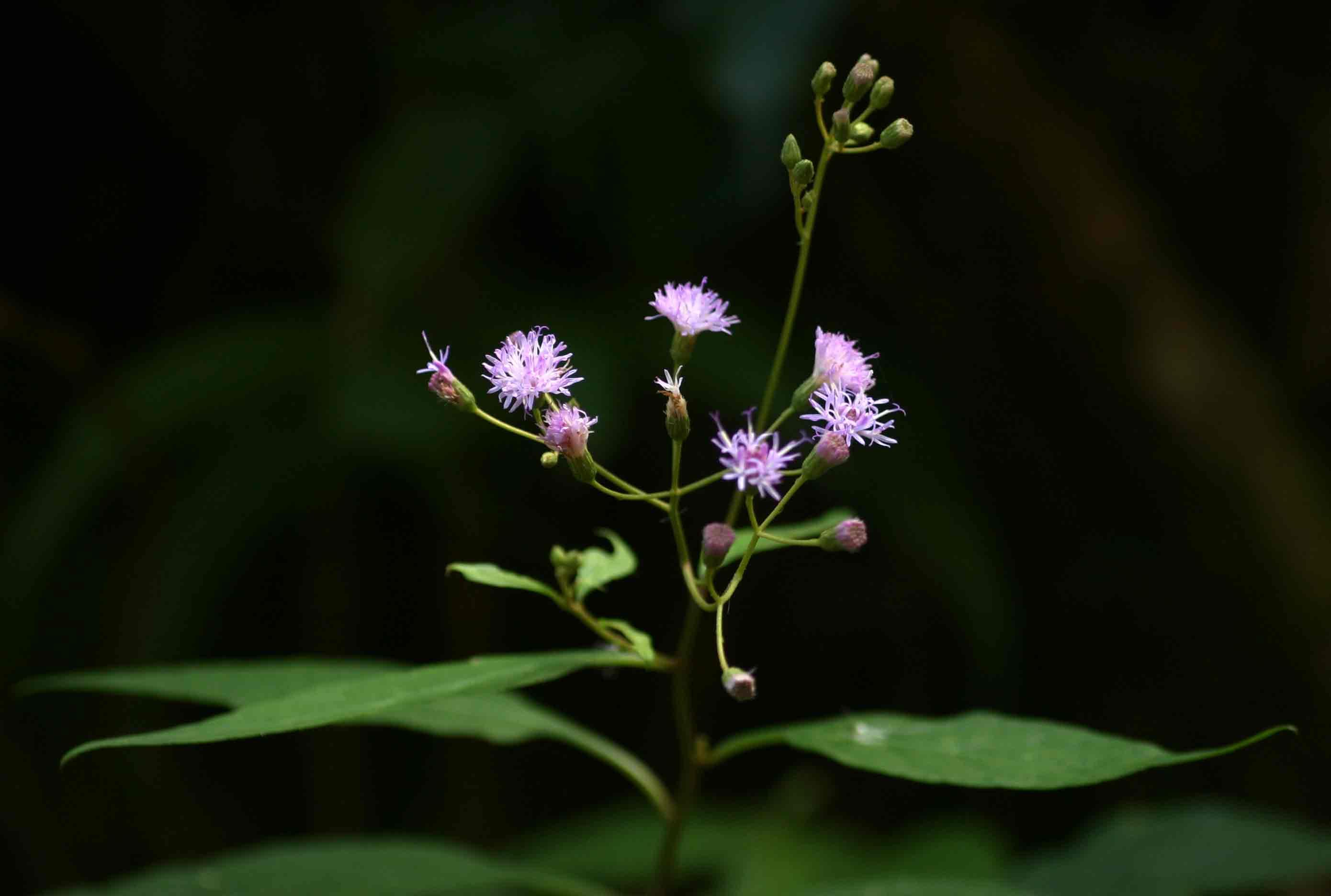 Vernonia wollastonii