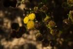 Grangea anthemoides