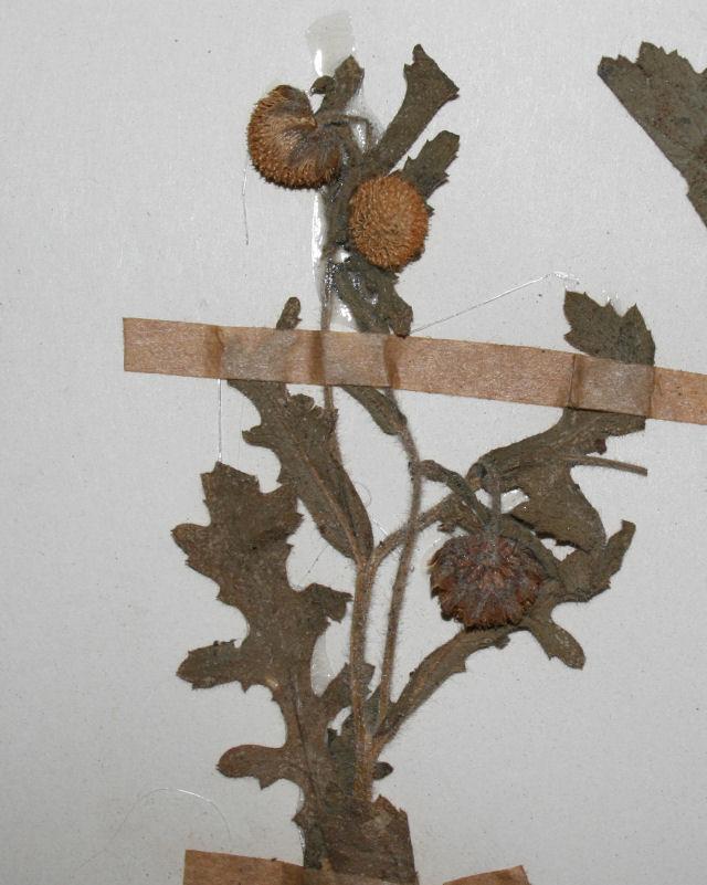 Grangea maderaspatana