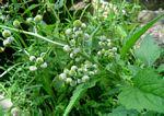 Dichrocephala integrifolia subsp. integrifolia