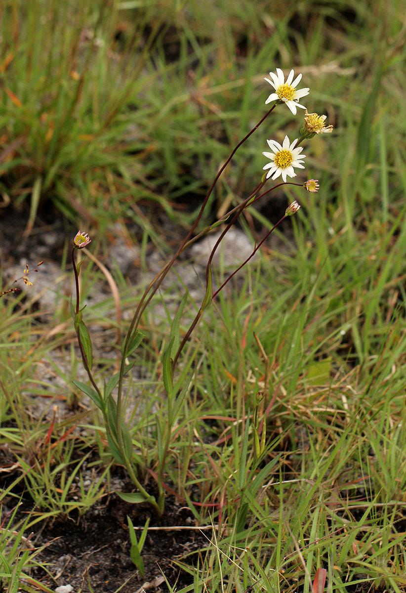 Aster harveyanus subsp. nyikensis