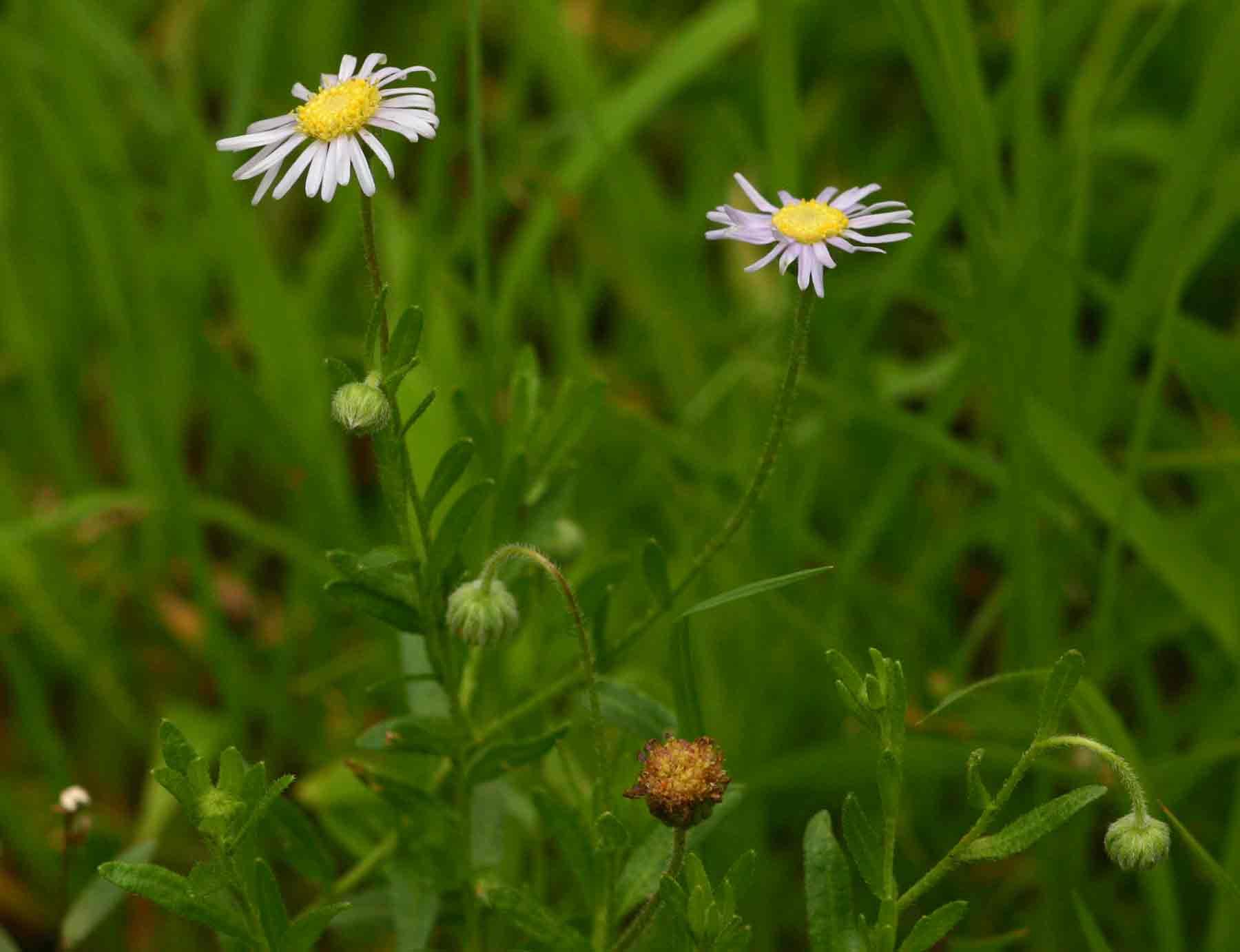 Felicia clavipilosa subsp. clavipilosa