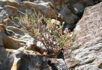 Felicia clavipilosa subsp. transvaalensis