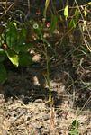 Felicia welwitschii
