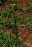 Nidorella auriculata subsp. auriculata
