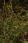 Nidorella resedifolia subsp. microcephala