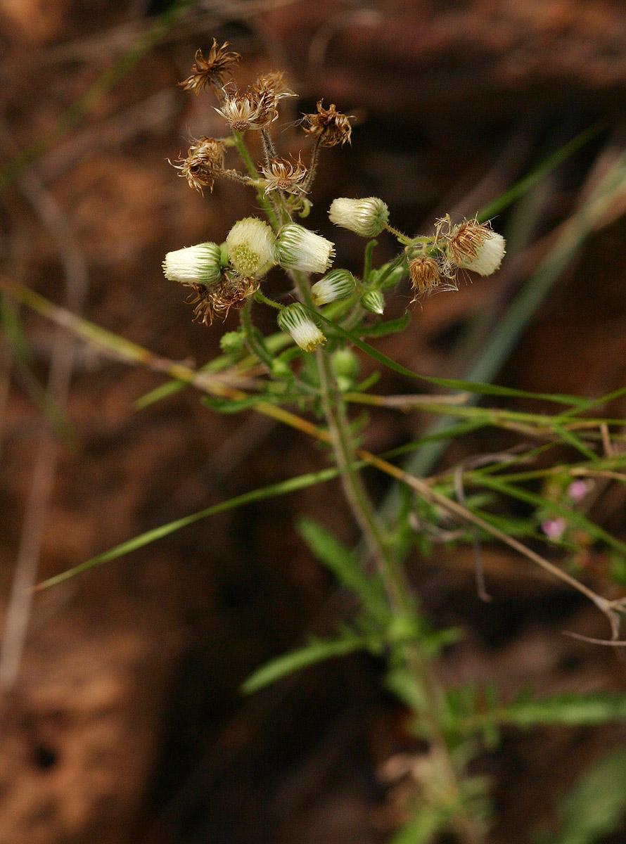 Nidorella aegyptiaca