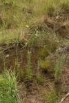 Conyza aegyptiaca