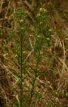 Erigeron sumatrensis