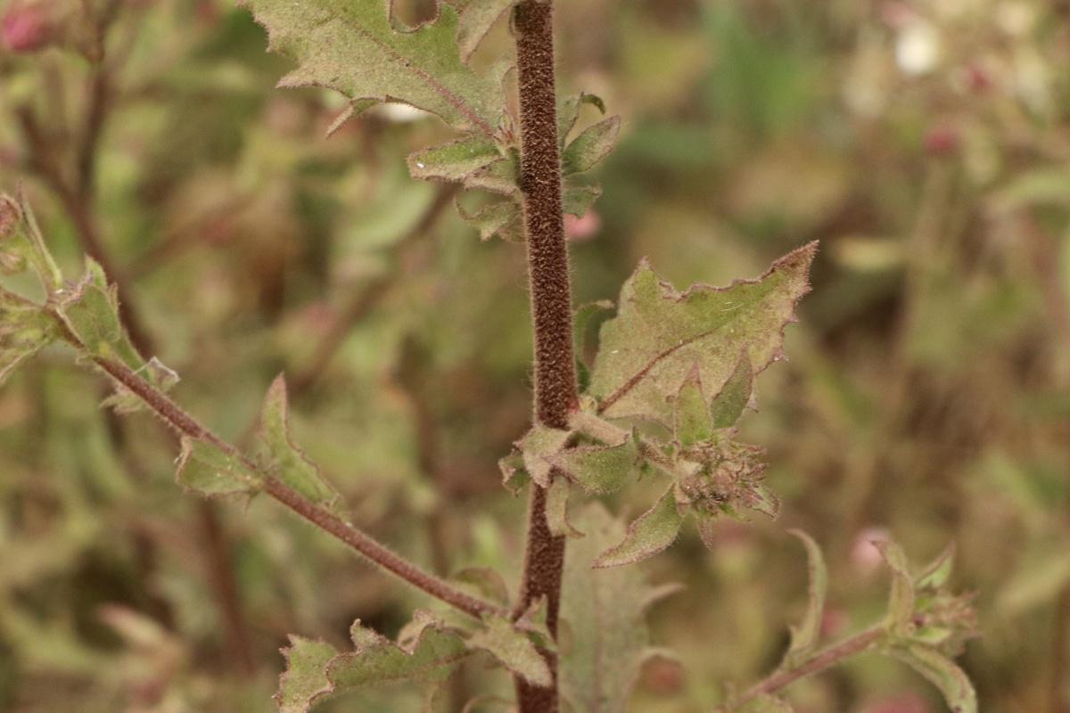 Pseudoconyza viscosa