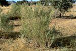 Pechuel-Loeschea leubnitziae