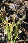 Denekia capensis