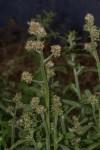 Gnaphalium purpureum