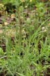 Pseudognaphalium luteo-album