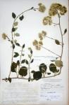 Helichrysum schimperi