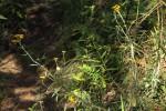 Helichrysum stenopterum