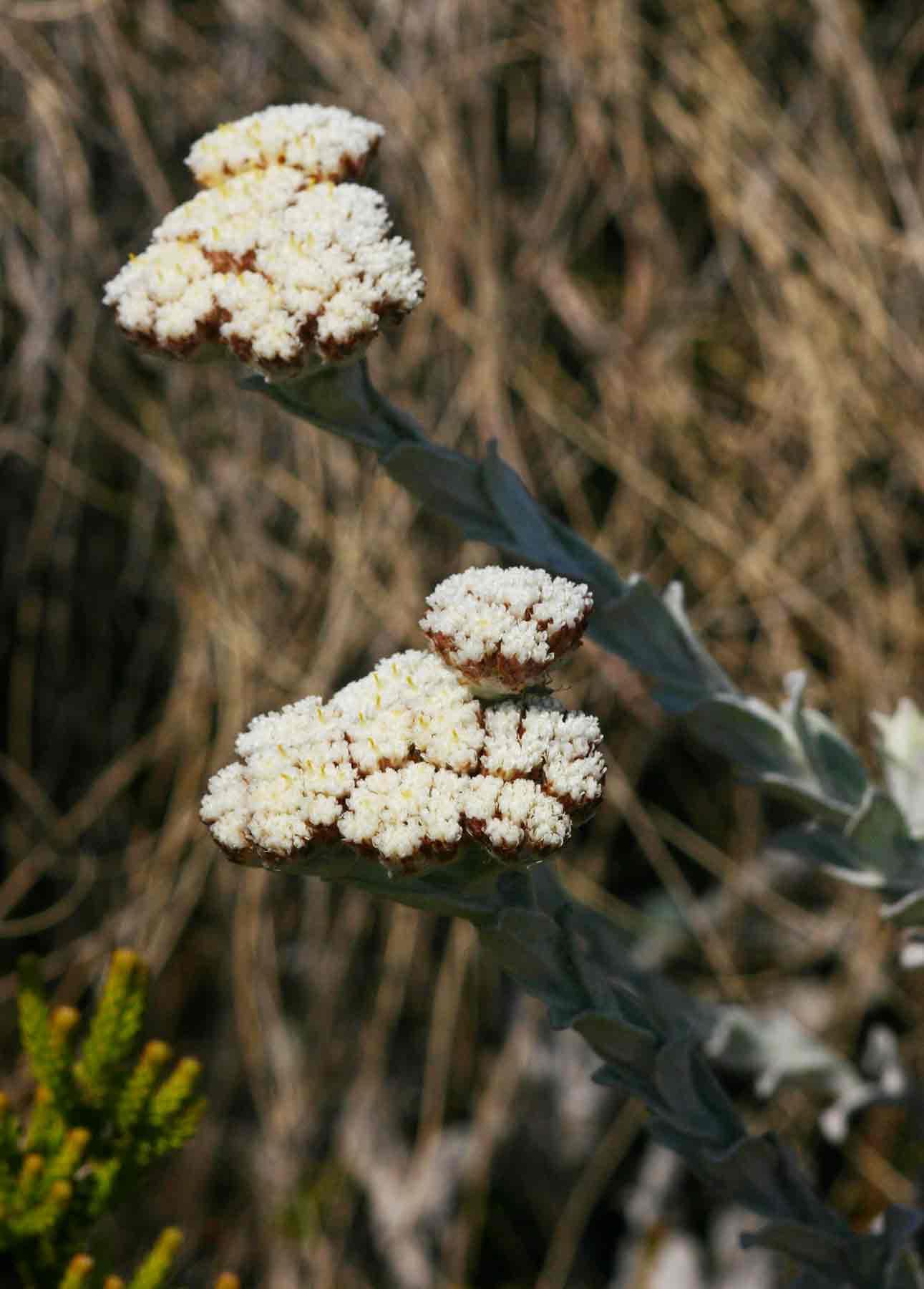 Helichrysum acervatum