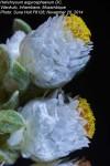 Helichrysum argyrosphaerum