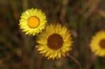 Helichrysum aureum var. monocephalum