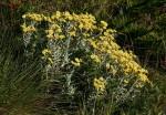 Helichrysum buchananii