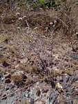 Helichrysum candolleanum