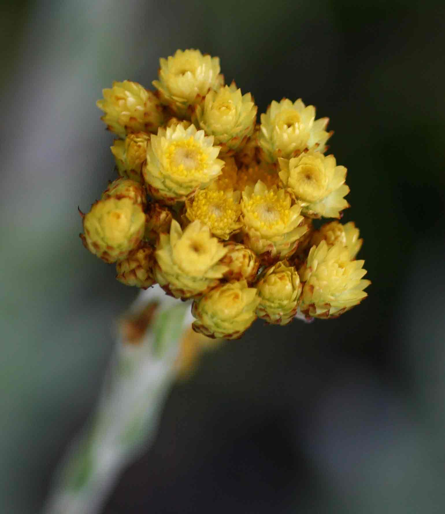 Helichrysum cephaloideum