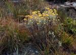 Helichrysum lepidissimum