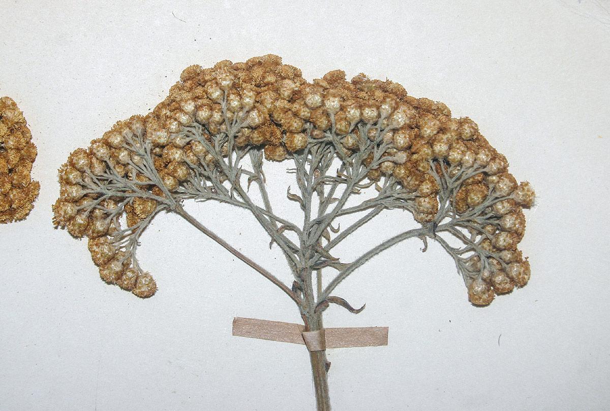 Helichrysum longiramum